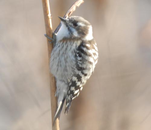 コゲラ キツツキ目キツツキ� 小啄木鳥 Japanese Pygmy