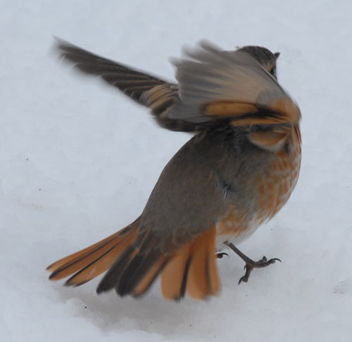 翼を広げるツグミ